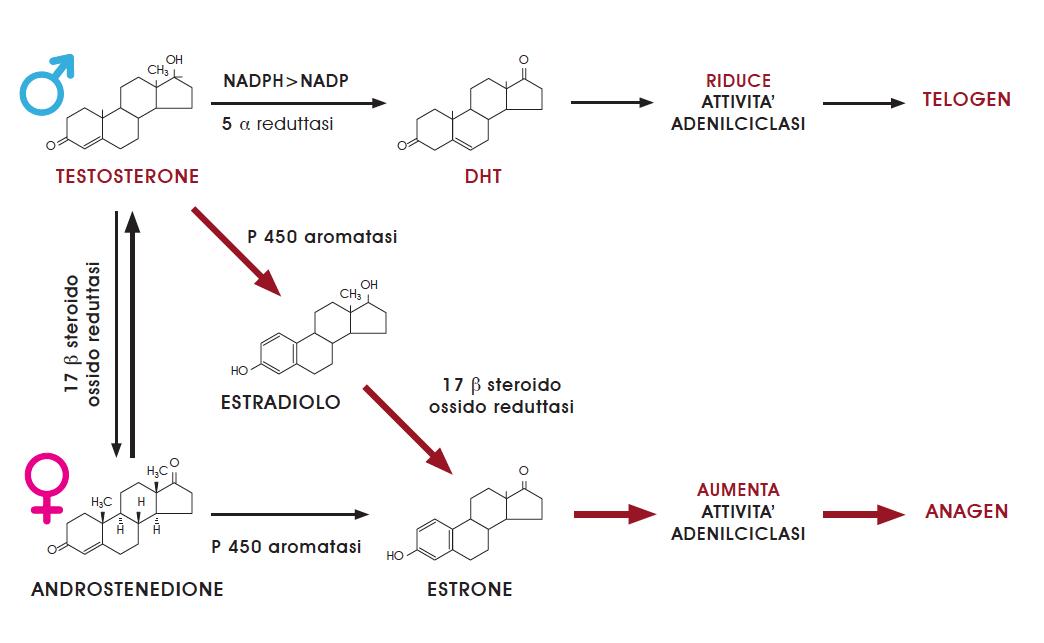 L'AGNOCASTO è una fonte naturale di PROGESTERONE che è in grado di inibire regolando naturalmente la 5-alfareduttasi per competizione con il TESTOSTERONE